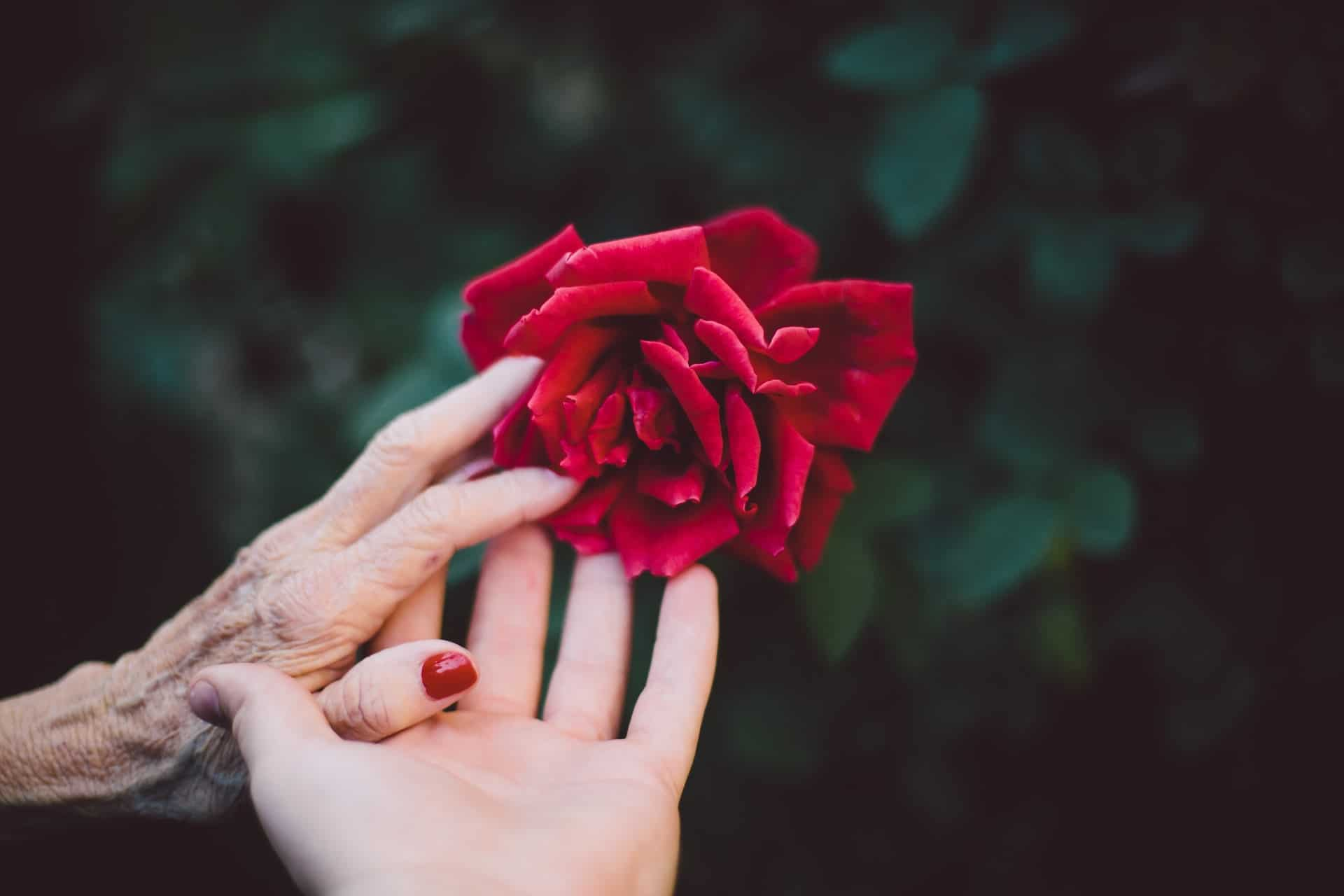 Two hands touching a red rose