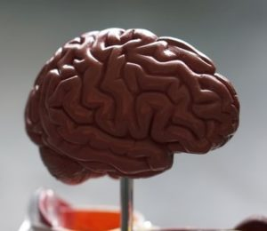 A plastic model human brain suspended on a platform.